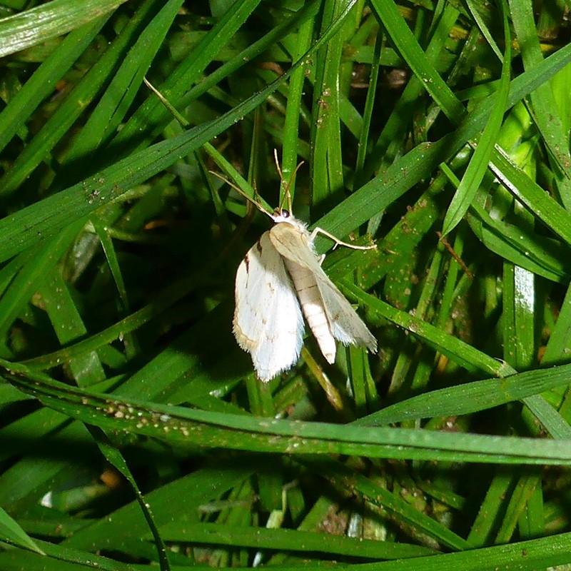 Toplettet Atlaskmåler (Lomographa bimaculata)