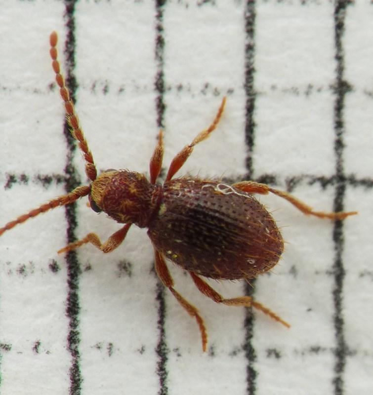 Ptinus subpilosus