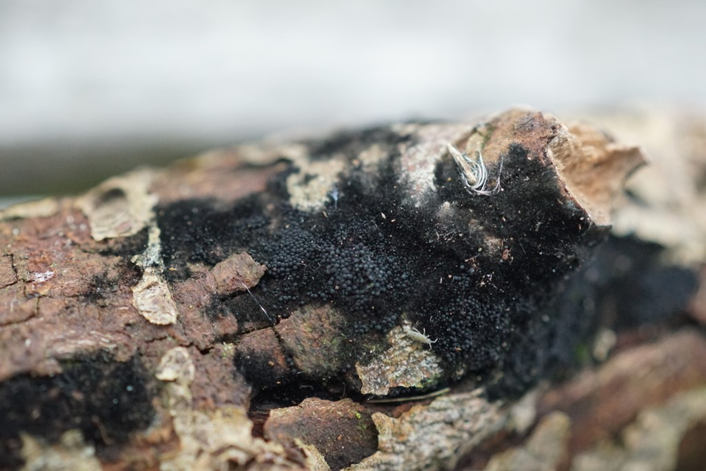 Chaetosphaerella phaeostroma (Chaetosphaerella phaeostroma)