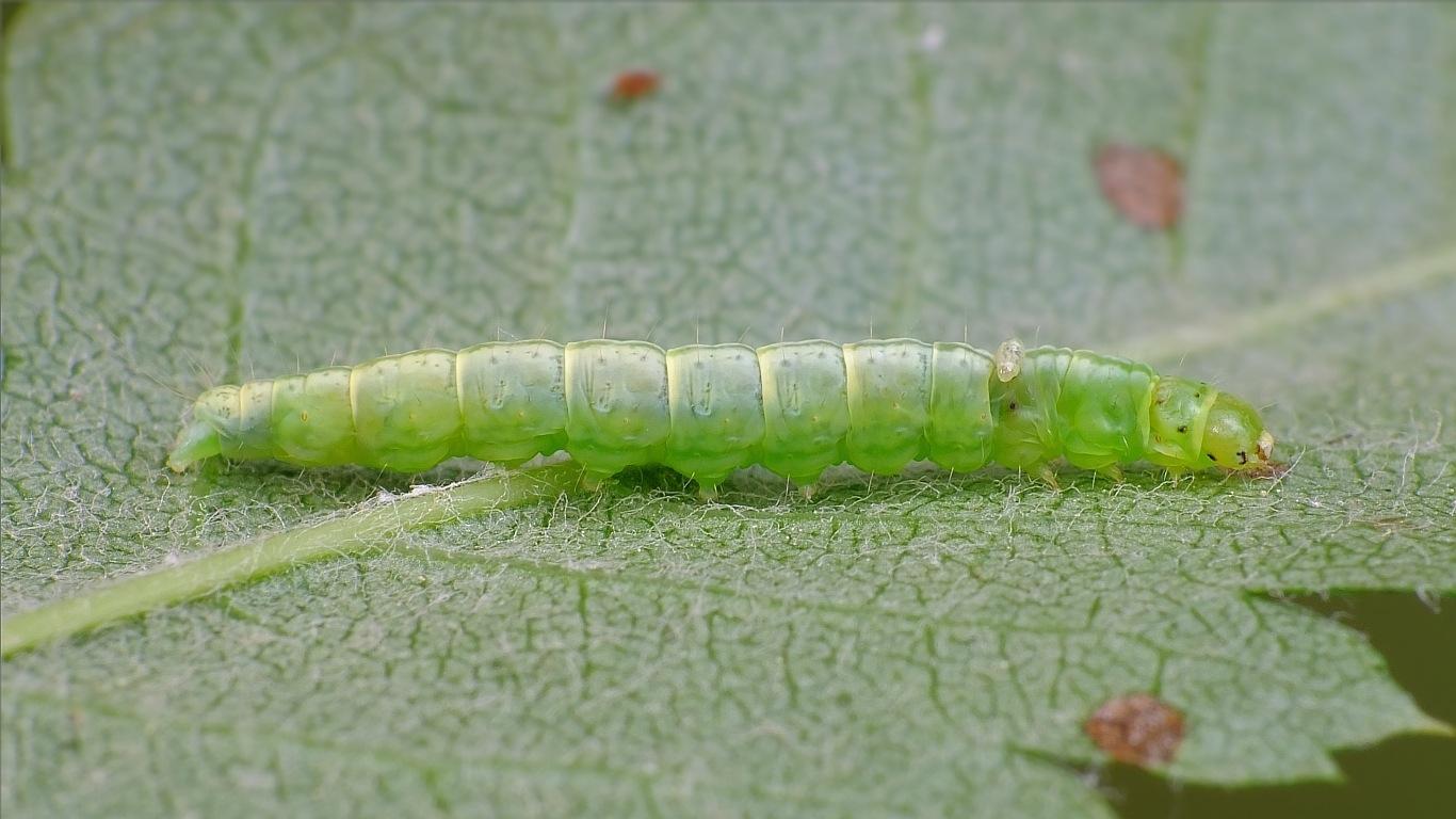 Foto/billede af Tjørneforårsmøl (Semioscopis steinkellneriana)