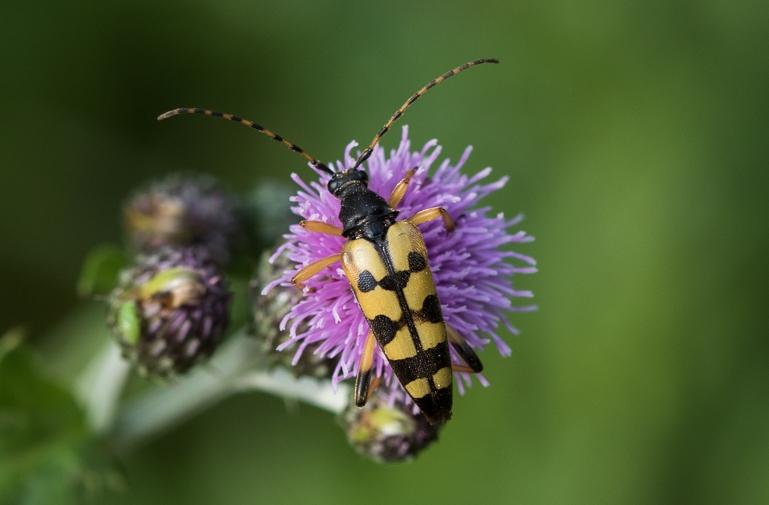 Foto/billede af Sydlig Blomsterbuk (Rutpela maculata)