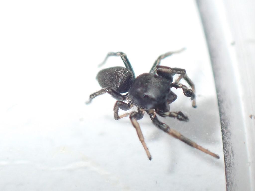 Sortspringer sp. (Heliophanus sp.)