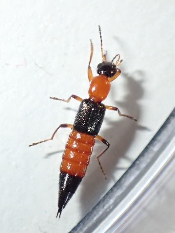 Foto/billede af Paederus fuscipes (Paederus fuscipes)