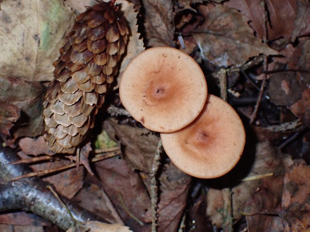 Rynket Mælkehat (Lactarius tabidus)