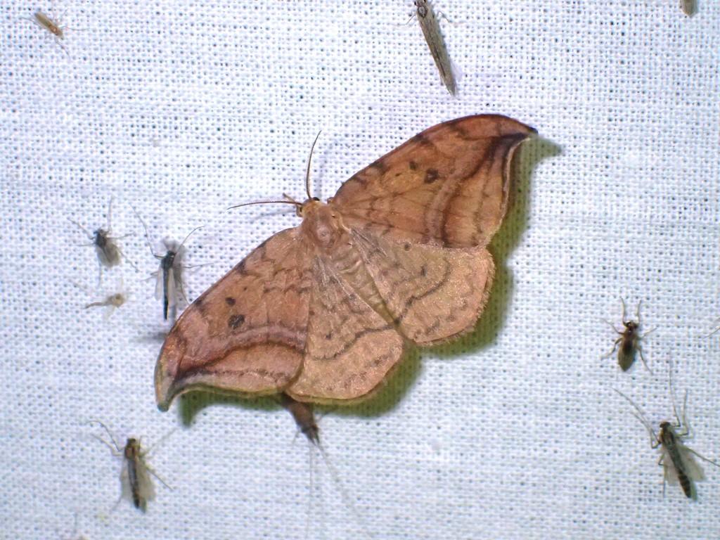 Brun Seglvinge (Drepana curvatula)