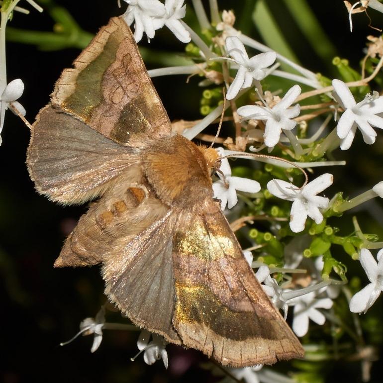 Foto/billede af Messingugle (Diachrysia chrysitis)