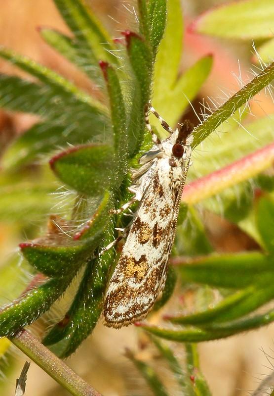 Foto/billede af Scoparia pyralella (Scoparia pyralella)