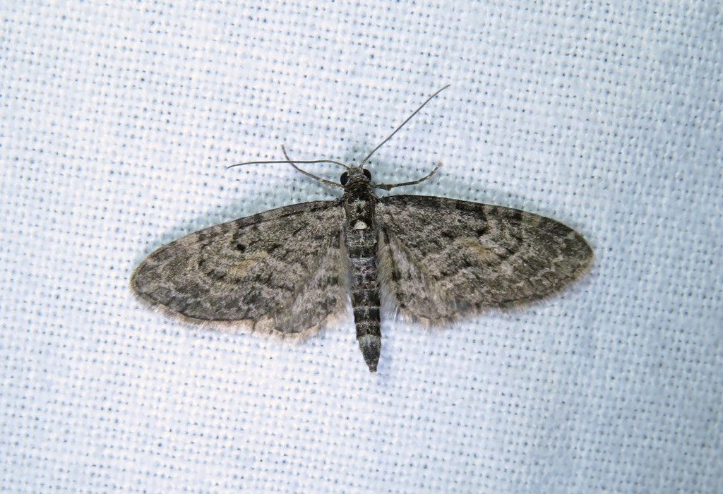 Foto/billede af Lærkedværgmåler (Eupithecia lariciata)