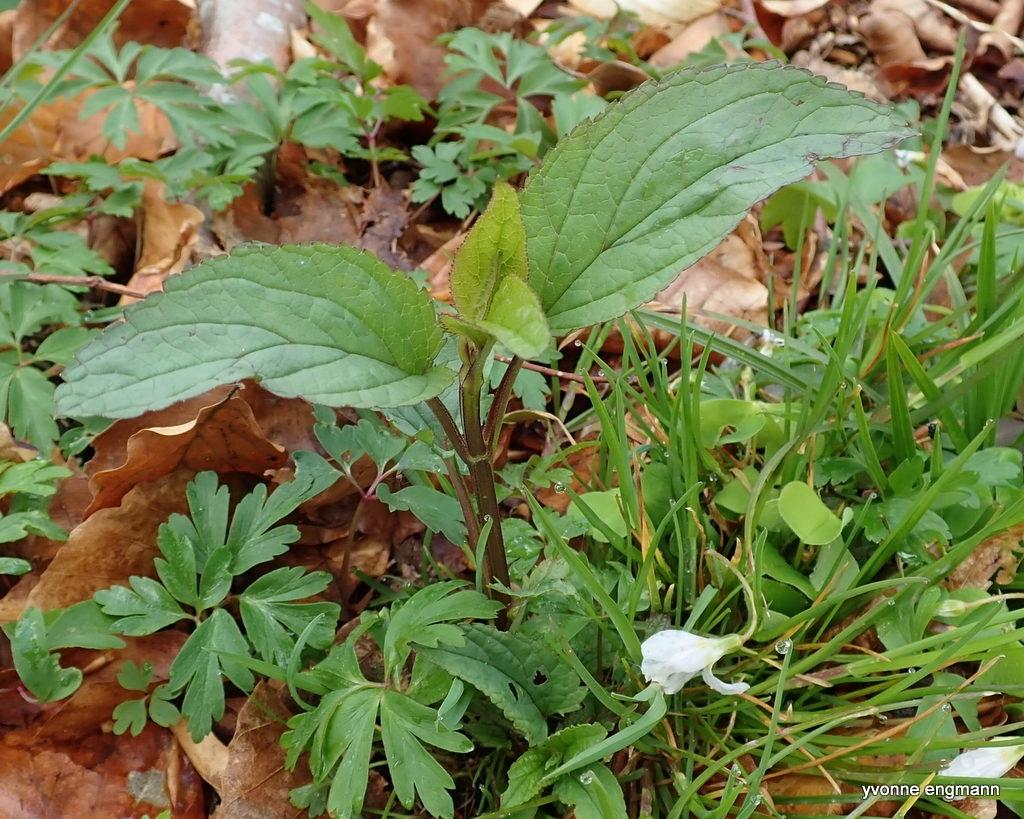 Knoldet Brunrod (Scrophularia nodosa)