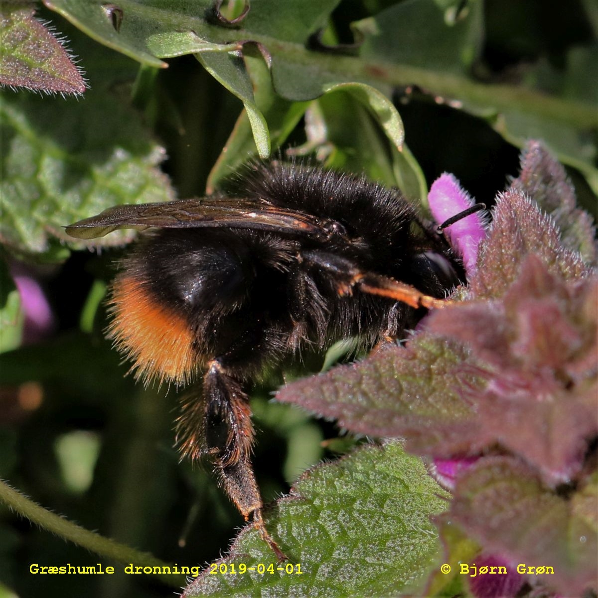 Foto/billede af Græshumle (Bombus ruderarius)