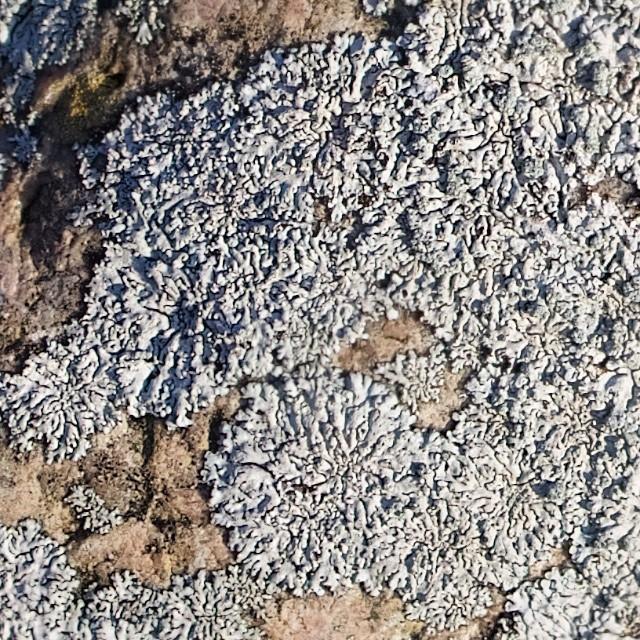 Blågrå Rosetlav (Physcia caesia)