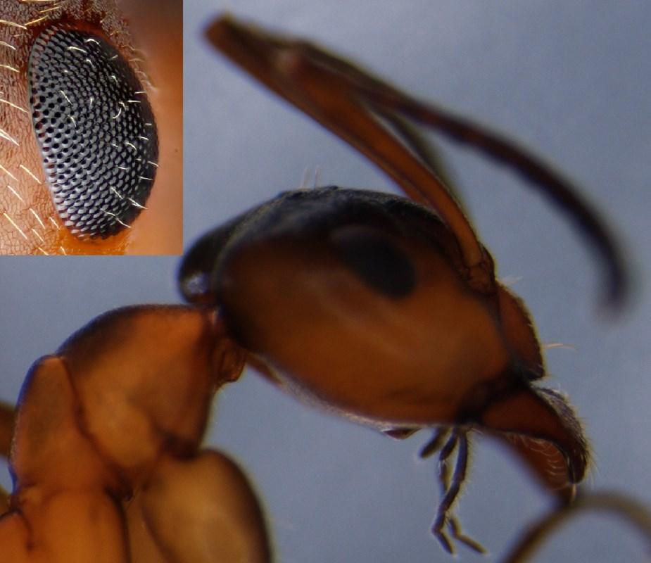 Rød Hedemyre (Formica exsecta)