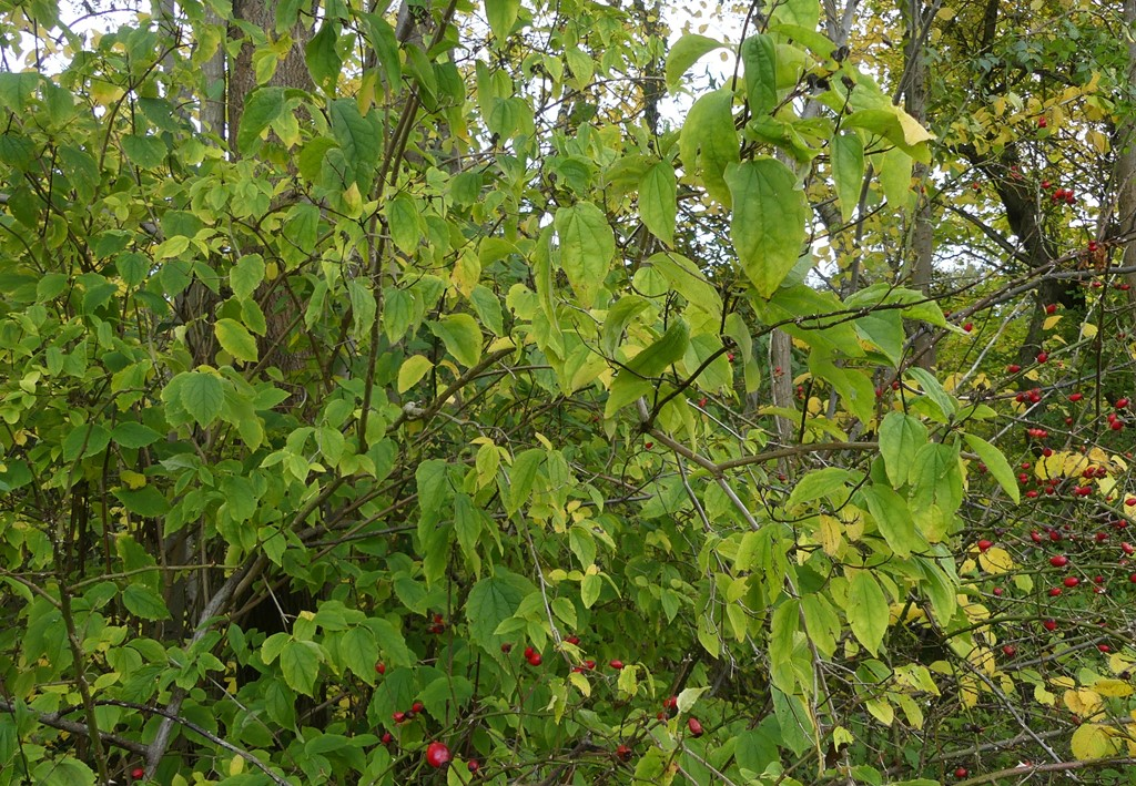 Philadelphus pubescens (Philadelphus pubescens)
