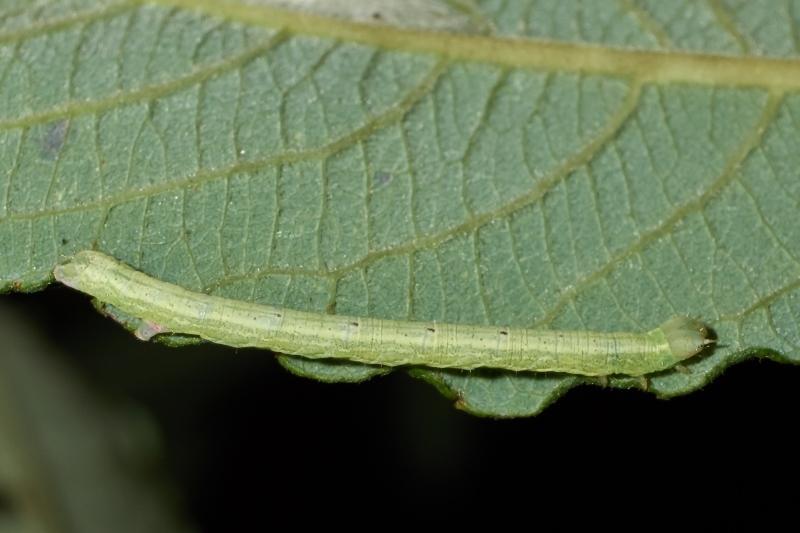 Gulhvid Stregmåler (Cabera exanthemata)