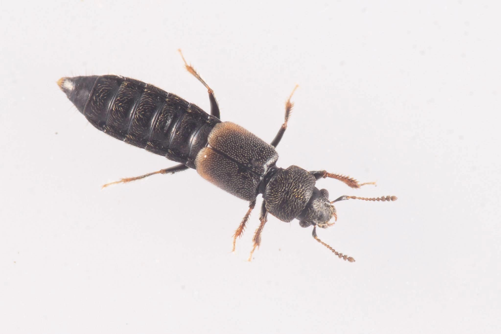 Bledius subniger