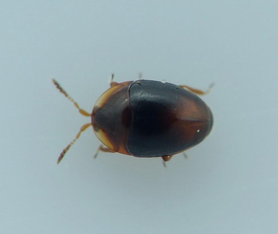 Foto/billede af Corylophus cassidoides (Corylophus cassidoides)