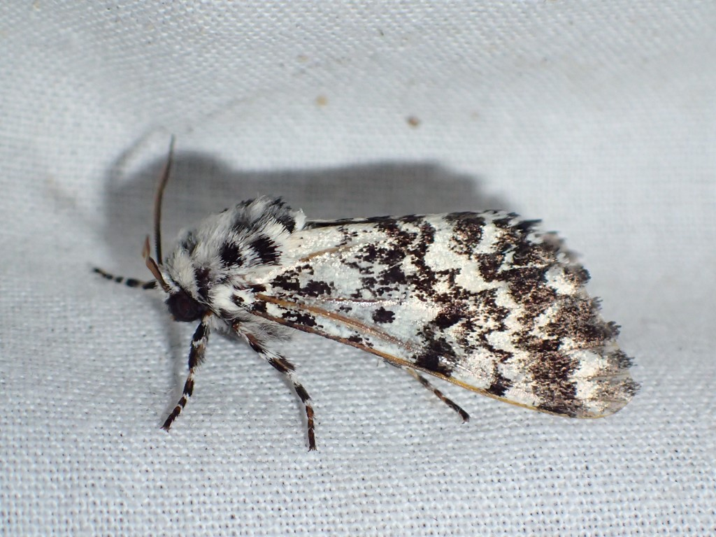 Nonneugle (Panthea coenobita)