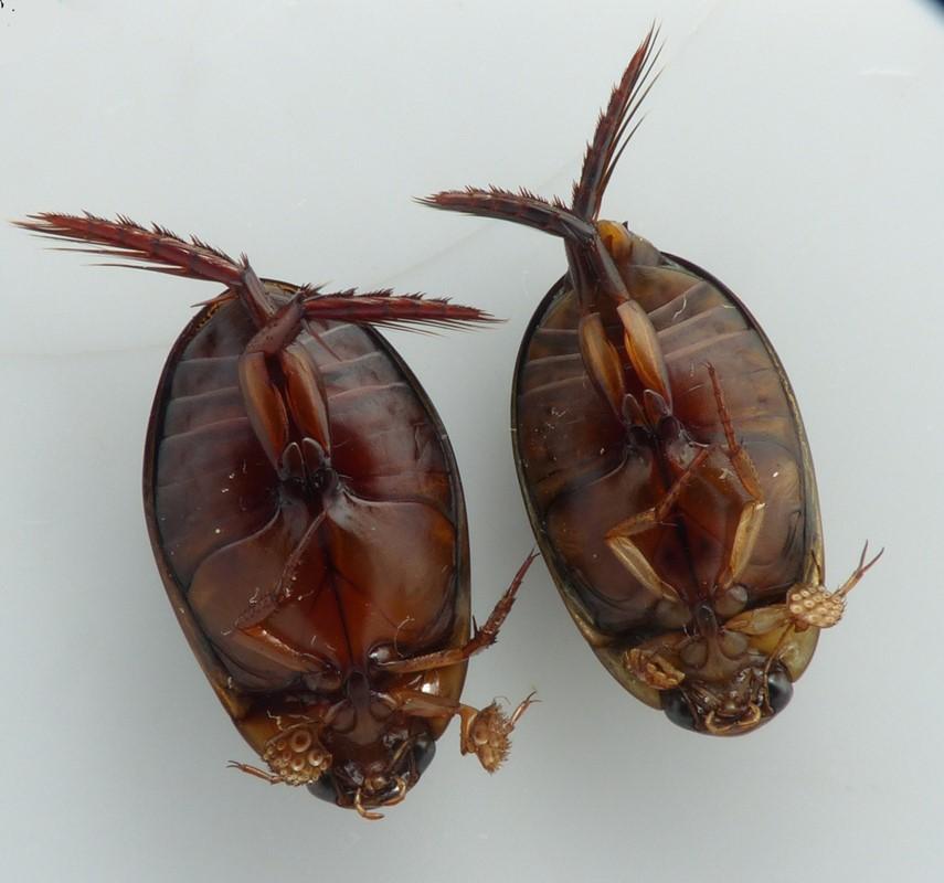 Graphoderus austriacus