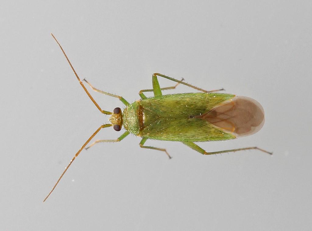 Foto/billede af Gyvelblomstertæge (Orthotylus virescens)