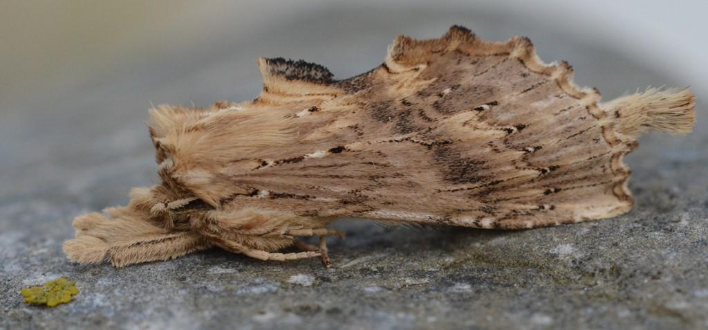 Foto/billede af Palpetandspinder (Pterostoma palpina)