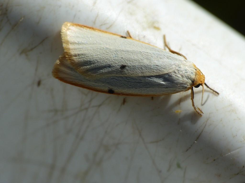 Dag-Lavspinder (Cybosia mesomella)
