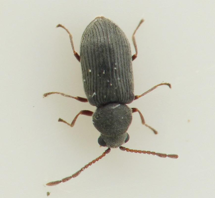 Dryophilus pusillus (Dryophilus pusillus)