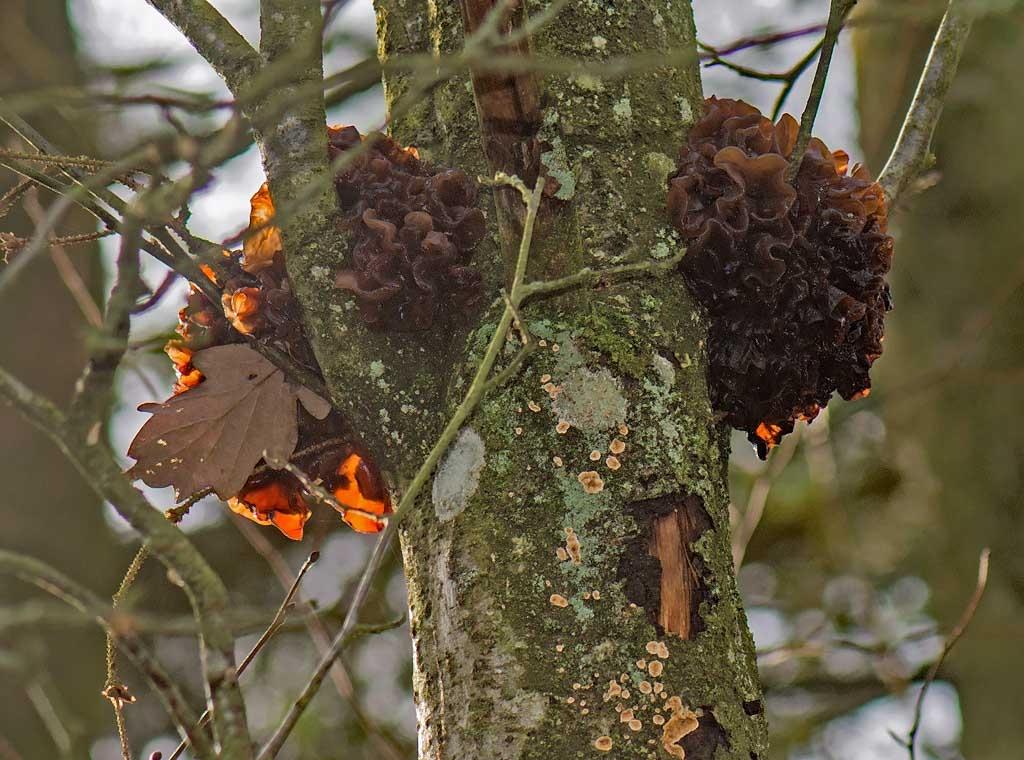 Foto/billede af Kæmpe-Bævresvamp (Phaeotremella frondosa )