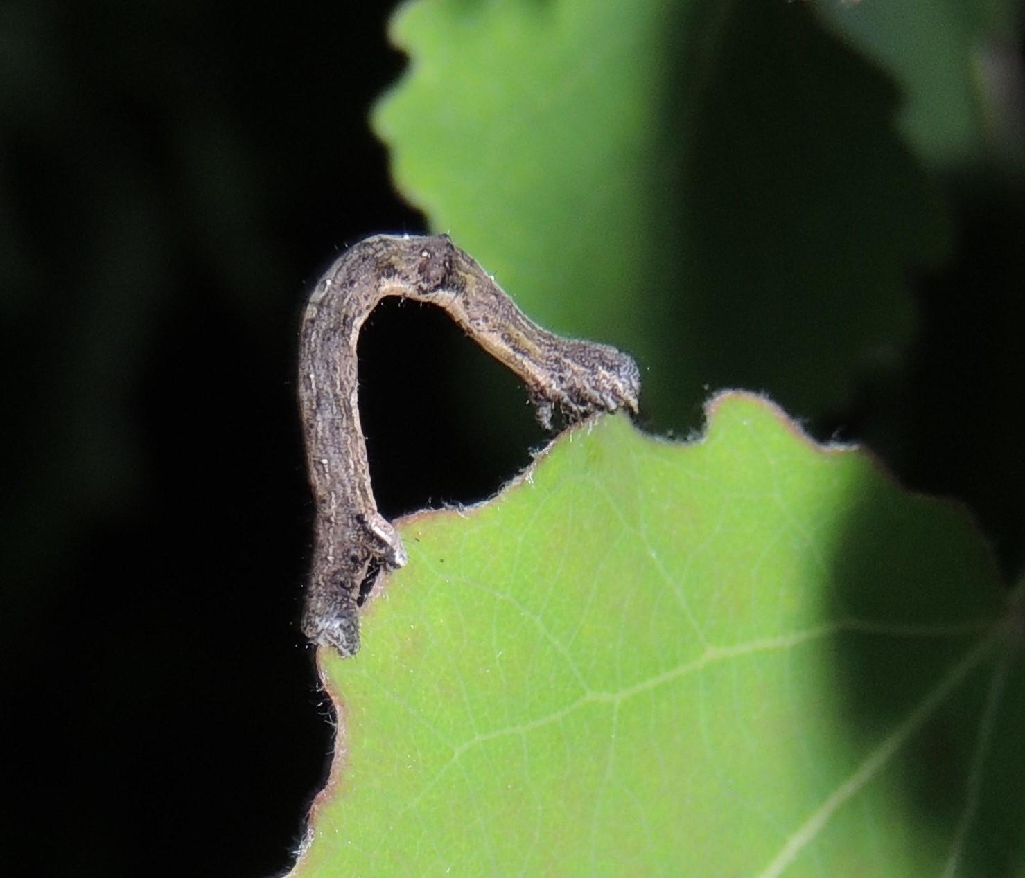 Skråbåndet Spidsmåler (Epione repandaria)