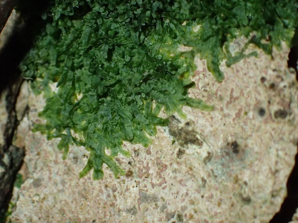 Foto/billede af Almindelig Gaffelløv (Metzgeria furcata)