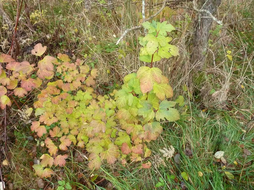 Foto/billede af Kvalkved (Viburnum opulus)