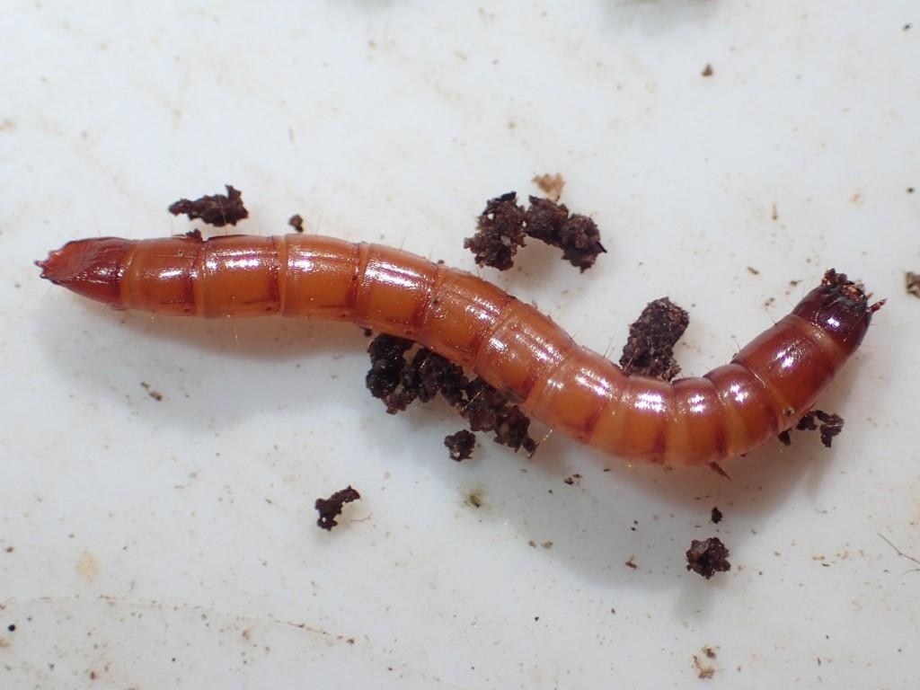 Melanotus sp. (Melanotus sp.)