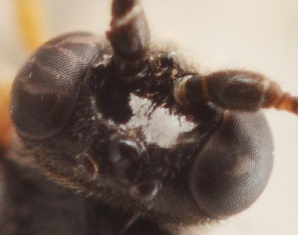 Cylloceria caligata