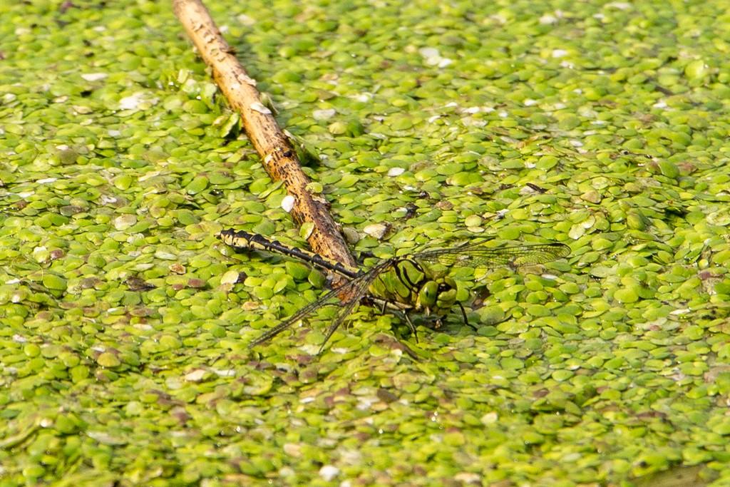 Grøn Kølleguldsmed (Ophiogomphus cecilia)