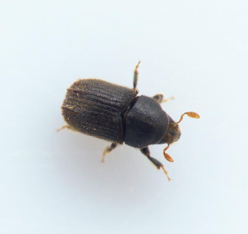 Phloeosinus thujae (Phloeosinus thujae)
