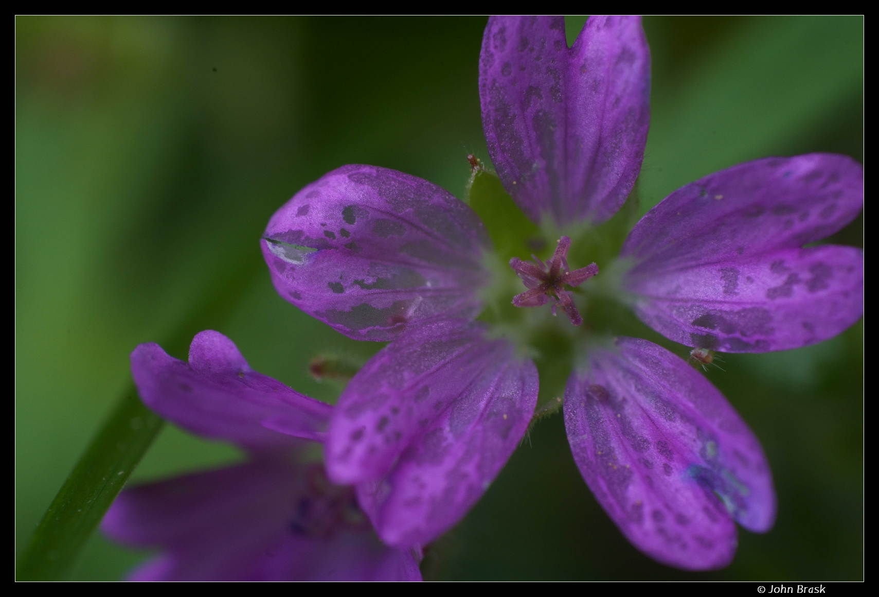 Foto/billede af Liden Storkenæb (Geranium pusillum)