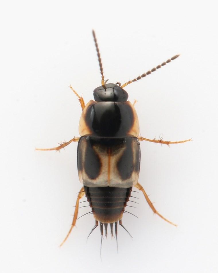 Cilea silphoides