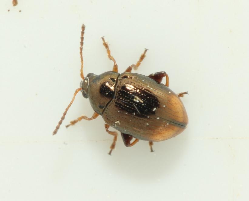 Foto/billede af Hippuriphila modeeri (Hippuriphila modeeri)