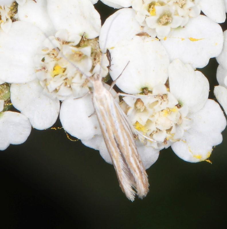 Foto/billede af Coleophora sp. (Coleophora sp.)