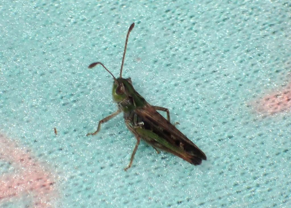 Køllegræshoppe (Myrmeleotettix maculatus)