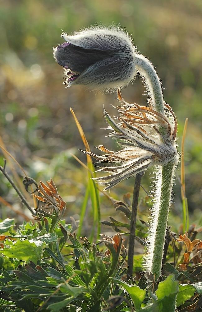 Foto/billede af Nikkende Kobjælde (Anemone pratensis)