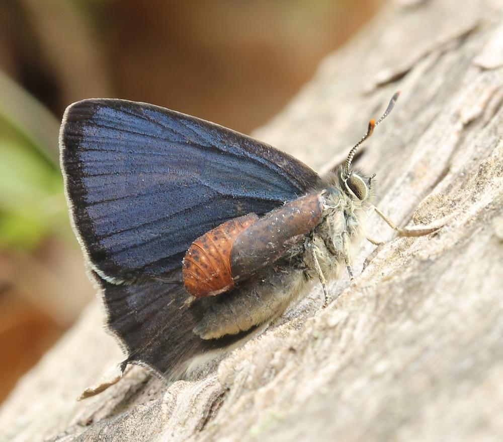 Blåhale (Favonius quercus)