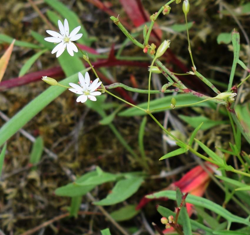 Foto/billede af Stor Fladstjerne (Stellaria holostea)