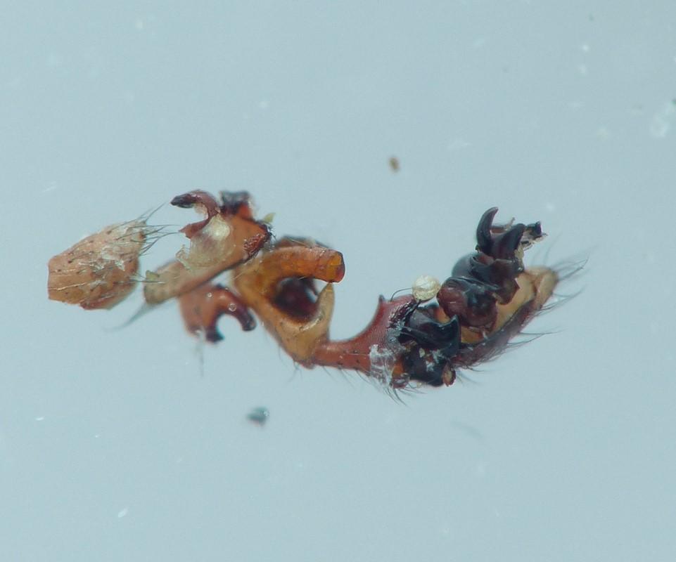 Foto/billede af Sort Dværgedderkop (Erigone dentipalpis) (Erigone dentipalpis)