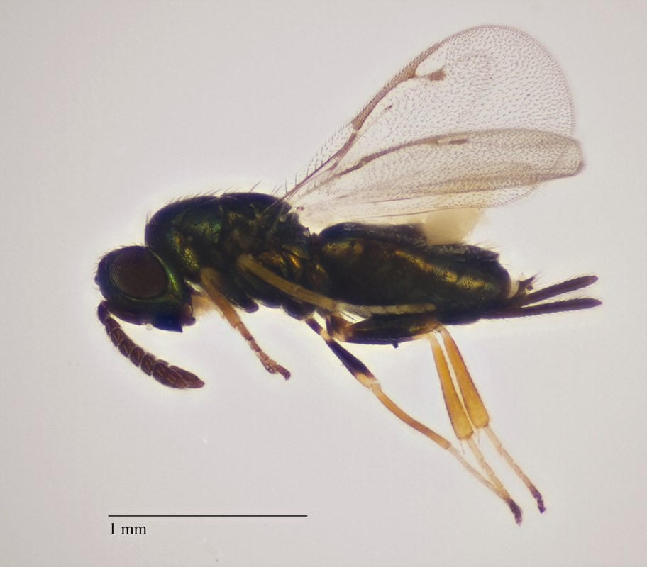 Gastrancistrus amaboeus (Gastrancistrus amaboeus)