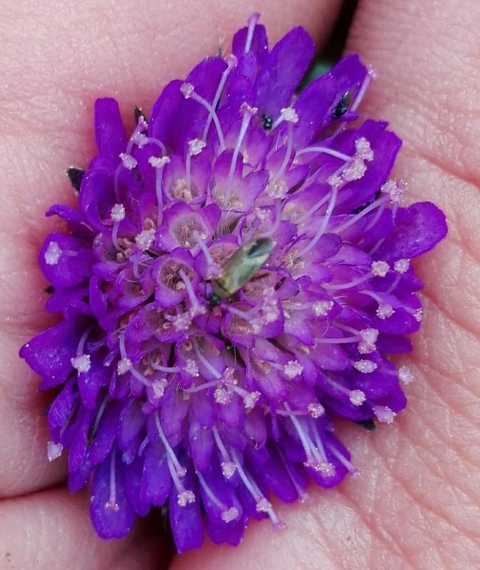 Foto/billede af Blåhatblomstertæge (Placochilus seladonicus)