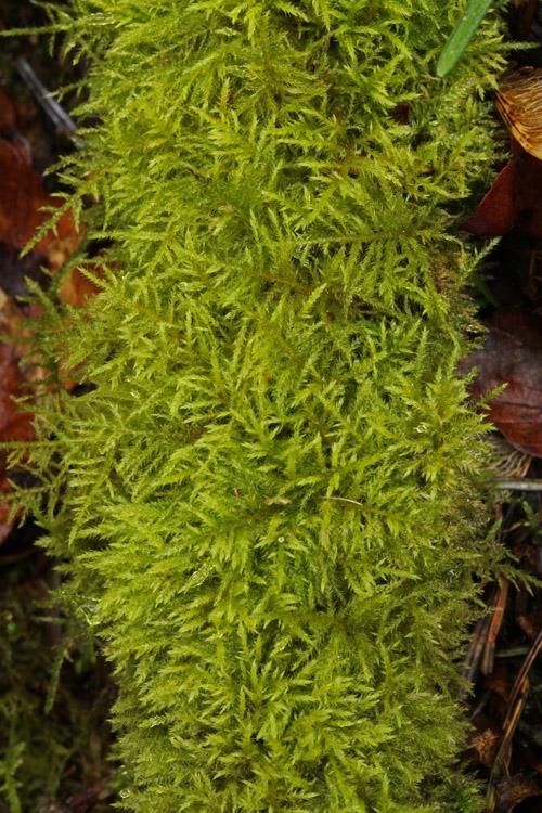 Foto/billede af Forskelligbladet vortetand (Kindbergia praelonga)