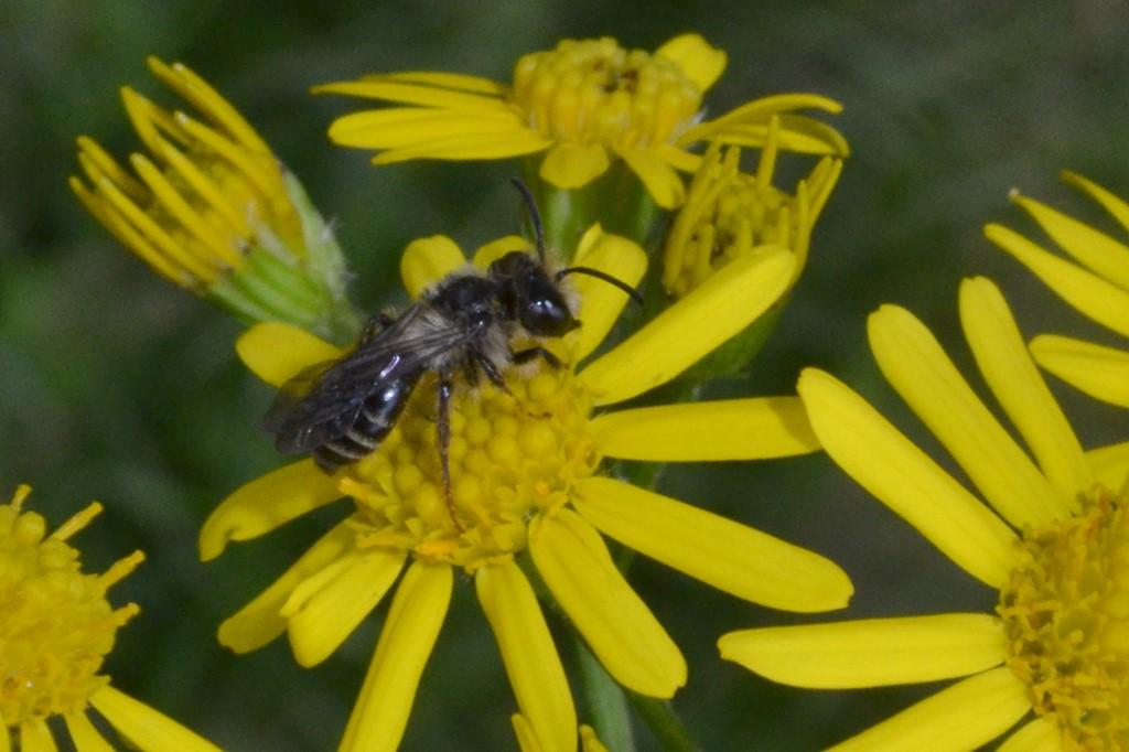 Foto/billede af Tandet jordbi (Andrena denticulata)