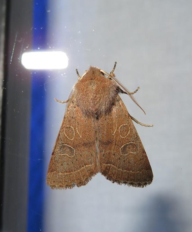 Foto/billede af Rødgul Forårsugle (Orthosia cerasi)