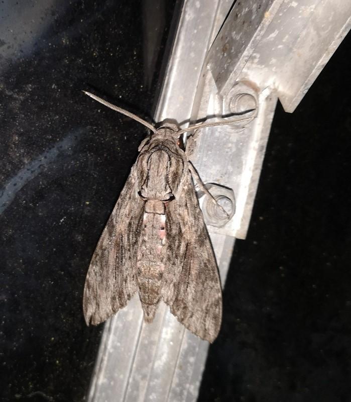 Foto/billede af Snerlesværmer (Agrius convolvuli)