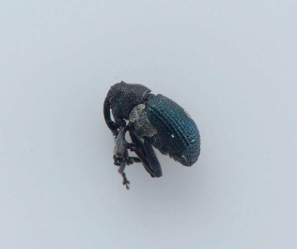 Ceutorhynchus pectoralis